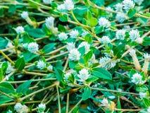Goujons argentés de fleurs Images libres de droits