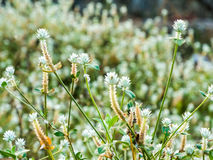 Goujons argentés de fleurs Photos libres de droits