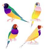 Gould finch Australijscy ptaki również zwrócić corel ilustracji wektora Fotografia Stock