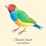 Gould finch vector illustration. Gould finch watercolor and colored pencils vector illustration Stock Images