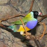 Gould`s finch or the rainbow finch Erythrura gouldiae. Beutiful Tropic Bird, Lady Gouldian finch, Gould`s finch or the rainbow finch Erythrura gouldiae royalty free stock image
