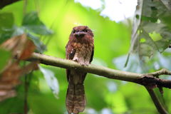 Gould`s frogmouth. Batrachostomus stellatus in Sabah, Borneo royalty free stock image