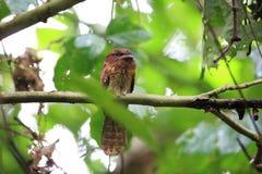 Gould`s frogmouth. Batrachostomus stellatus in Sabah, Borneo royalty free stock photos