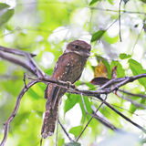 Gould's Frogmouth Stock Photo