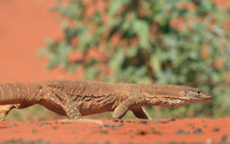 Gould's Goanna Royalty Free Stock Images