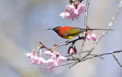 Gould's Sunbird Royalty Free Stock Photography