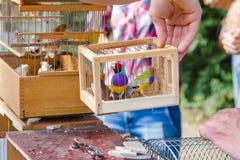 Gouldiae decorativos de Erythrura em uma gaiola Fotografia de Stock Royalty Free