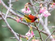 Gouldiae di Aethopyga di sunbird del ` s di sig.ra Gould fotografia stock libera da diritti