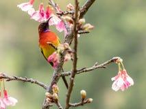 Gouldiae di Aethopyga di sunbird del ` s di sig.ra Gould fotografie stock libere da diritti