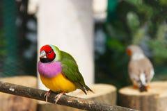 Gouldian雀科或Erythrura gouldiae、男性、亦称Gouldian夫人雀科、Goulds雀科或者彩虹雀科 库存图片