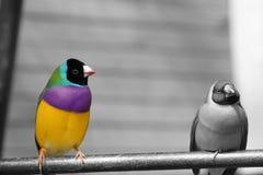 Gouldian雀科或Erythrura gouldiae、男性、亦称Gouldian夫人雀科、Goulds雀科或者彩虹雀科 图库摄影
