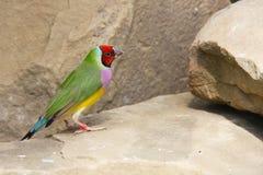 Gouldian雀科或Erythrura gouldiae、男性、亦称Gouldian夫人雀科、Goulds雀科或者彩虹雀科 库存照片