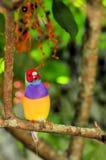 Gouldian雀科鸟在树枝,佛罗里达栖息 免版税库存图片