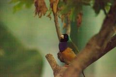 Gouldian雀科Erythrura gouldiae 库存照片
