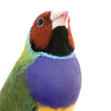 Gouldian Finch Stock Images