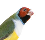 Gouldian Finch Stock Photography