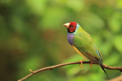 Gouldian Finch Royalty Free Stock Images