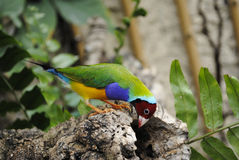 Gouldian Finch. Latin name Erythrura gouldiae looking for food in a garden Stock Image