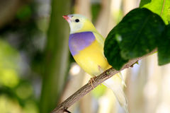Gouldian finch Stock Photos