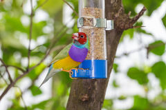 Gouldian Finch Royalty Free Stock Photography