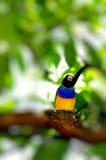 Gouldian Finch bird in Florida Stock Images