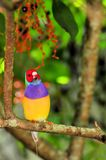 Gouldian Finch bird perched on tree branch, Florida Royalty Free Stock Images
