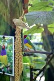 Gouldian finch in a butterfly park in Fort Lauderdale royalty free stock image
