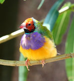 Gouldian finch, Chloebia gouldiae, Stock Photography