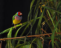 Gouldian finch, Chloebia gouldiae male Royalty Free Stock Photos