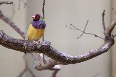 Gouldian finch stock image