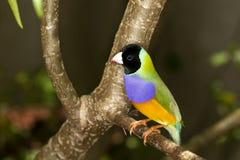 Gouldian Finch (Erythrura gouldiae ) Stock Images