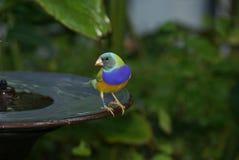 Gouldian Finch (Erythrura gouldiae) Obrazy Stock