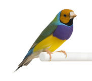 Gouldian Finch - Erythrura gouldiae Stock Photo
