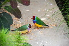 The Gouldian finch or Erythrura gouldiae, aka the Lady Gouldian finch, Goulds finch or the rainbow finch Royalty Free Stock Photos