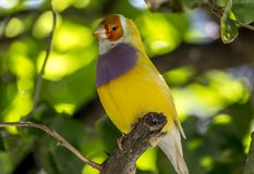 Gouldian finch,Erythrura gouldiae. Also known as the Lady Gouldian finch, Gould`s finch or the rainbow finch, is a colourful passerine bird endemic to Stock Photos