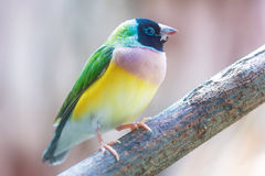Gouldian finch (Erythrura gouldiae) Royalty Free Stock Photo