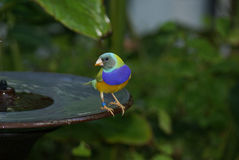 Gouldian Finch (Erythrura gouldiae) Stock Images