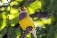 Gouldian finch,Erythrura gouldiae. Also known as the Lady Gouldian finch, Gould`s finch or the rainbow finch, is a colourful passerine bird endemic to Royalty Free Stock Image