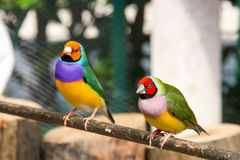 The Gouldian finch or Erythrura gouldiae, male, aka the Lady Gouldian finch, Goulds finch or the rainbow finch Stock Images
