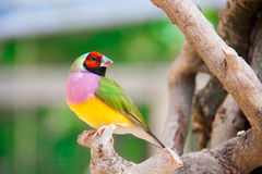 The Gouldian finch or Erythrura gouldiae, male, aka the Lady Gouldian finch, Goulds finch or the rainbow finch Royalty Free Stock Photo