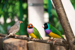 The Gouldian finch or Erythrura gouldiae, male, aka the Lady Gouldian finch, Goulds finch or the rainbow finch Royalty Free Stock Photography