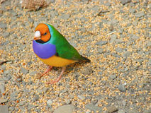 The Gouldian finch or Erythrura gouldiae, male, aka the Lady Gouldian finch, Goulds finch or the rainbow finch Stock Photography