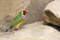 The Gouldian finch or Erythrura gouldiae, male, aka the Lady Gouldian finch, Goulds finch or the rainbow finch Stock Photos