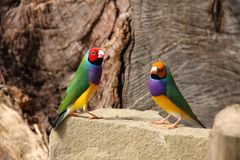 The Gouldian finch or Erythrura gouldiae, male, aka the Lady Gouldian finch, Goulds finch or the rainbow finch.  Royalty Free Stock Photography