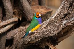 The Gouldian finch or Erythrura gouldiae, male, aka the Lady Gouldian finch, Goulds finch or the rainbow finch.  Stock Photos