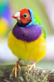 The Gouldian finch Stock Image