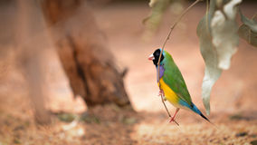 Gouldian Finch hung on branch Stock Photos