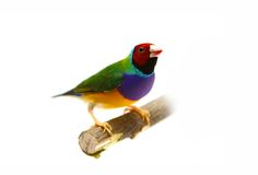 Gouldian Finch on white background Stock Image