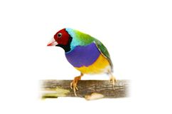 Gouldian Finch on white background Royalty Free Stock Images