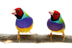 Gouldian Finch on white background Stock Photo